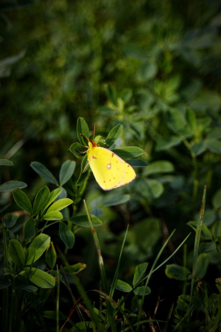 nature, leaf, green color, plant, one animal, close-up, outdoors, growth, insect, no people, day, yellow, fragility, beauty in nature, animal themes, flower