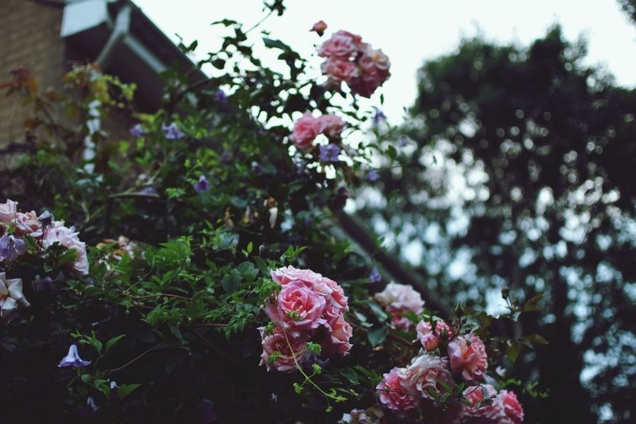 Roses Pink Color Beauty In Nature Nature On Your Doorstep Flower Springtime Spring Flowers Spring Beautiful Nikonphotography Nikon D5600