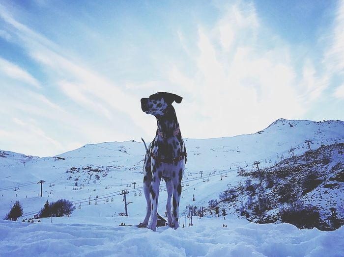 Snow Winter Cold Temperature Weather Nature Sky Mountain Beauty In Nature Landscape Outdoors Scenics France Dog Love Lovely Weather Love Dalmatian Piau Engaly Leisure Activity Day Tranquil Scene Snowboarding Mammal First Eyeem Photo