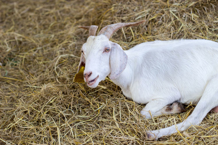 High angle view of a happy lazy goat