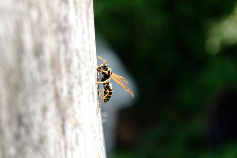 Close-up of wasp on tree trunk