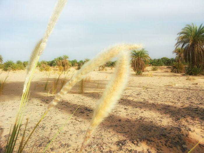 Desert Palmsprings Palm Trees Spring Relaxing Sahara Enjoying Life Hanging Out Taking Photos Sunny Day Nature Photography Daylight