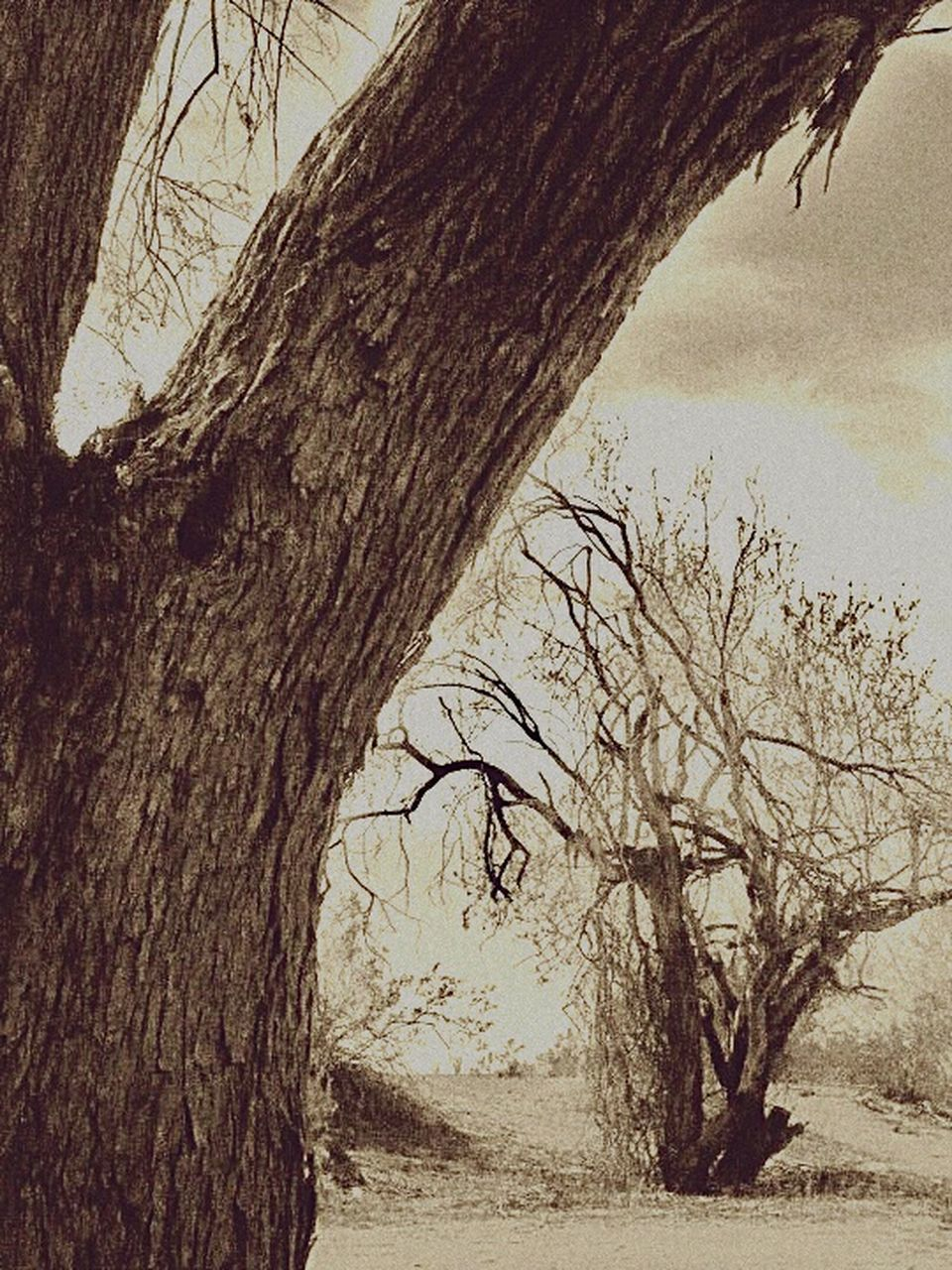 tree, tree trunk, bare tree, branch, nature, day, outdoors, tranquility, no people, beauty in nature, scenics, dead tree, close-up, sky