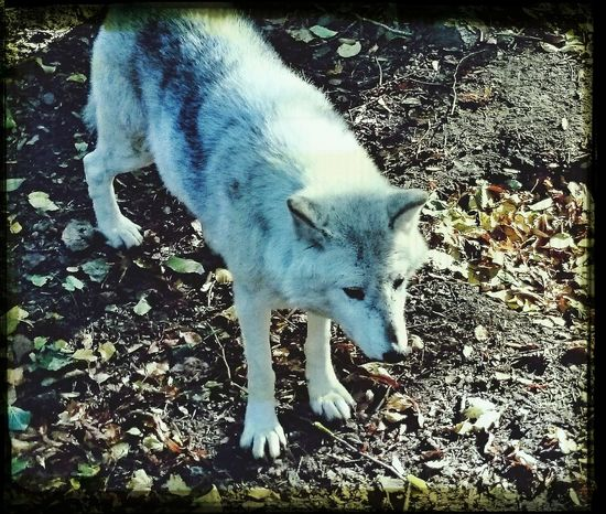 Animals wolf nature
