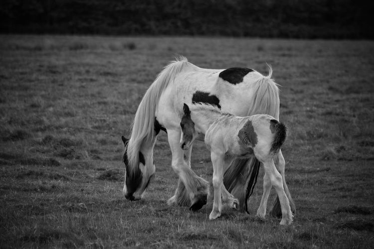 Horses Foal Springtime Domestic Animals No People Grass Nature Outdoors Day Pets Mammal Animal Themes New Born Equine Mother And Child Field Black And White Horse Photography  Horse Photography  Horse Pony Animal Wildlife Animals In The Wild Ponies Equine Photography