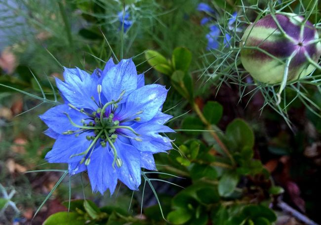 In the Submarine Depths of the Floral Worlds Nature Photography Blue Flowers Spikes Devil In The Bushes Love-in-a-mist Nigella Damascena