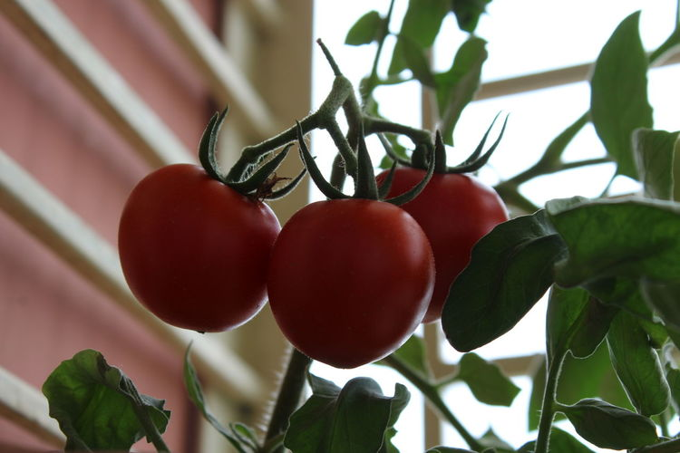 Low angle view of tomato on tree
