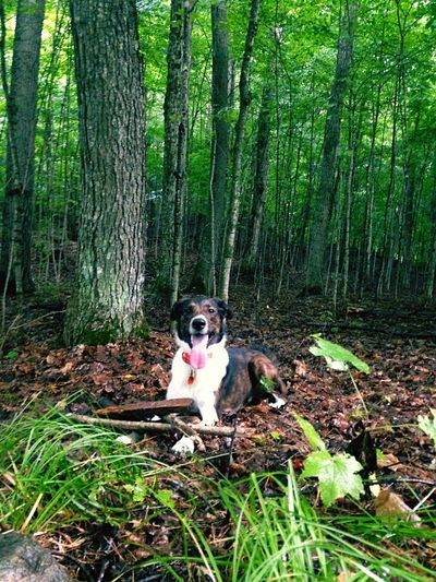 Someone is sold on the forest life. Border Collie Bordercollie  Working Dog Loves Sticks King of the Forest