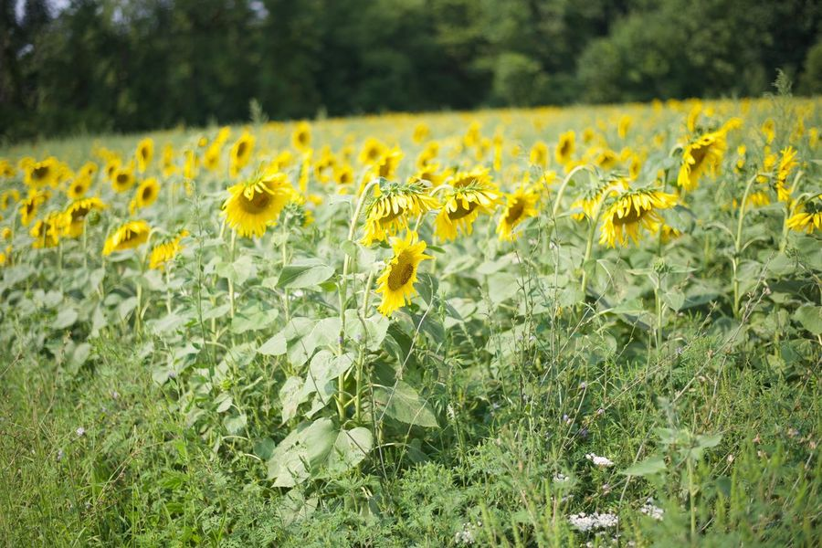 Field of sunflowers Sunflowers🌻 Beauty In Nature Nature Plant Flower Growth Yellow Flowering Plant Beauty In Nature Freshness Field Fragility Nature Land Flower Head No People Landscape Day