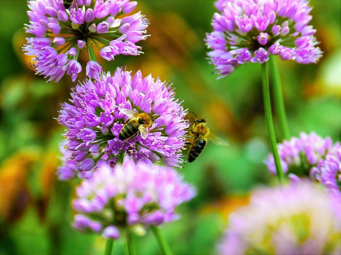 Bees pollinating on pink flowers blooming outdoors