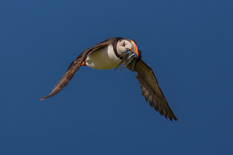 Puffin in flight against the blue sky Animal Themes Animals In The Wild Atlantic Puffin Beauty In Nature Bird Bird In Flight Fish In Beak Flight Flying Fratercula Arctica Landing Nature Puffin Returning With Fish Wildlife Zoology