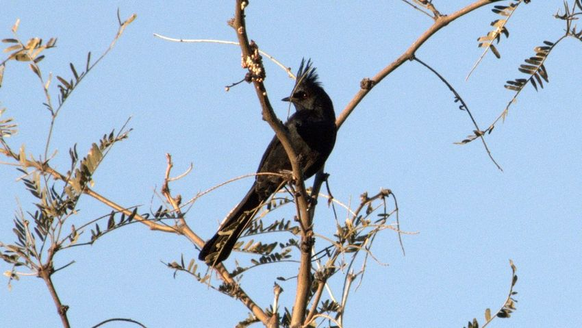 male phainopepla Backgrounds Bare Tree Bird Botany Branch Change Dead Plant Dry Growing Growth Leaf Low Angle View Nature No People Outdoors Perching Phainopepla Springtime Tree Tree Trunk Twig Showcase: February