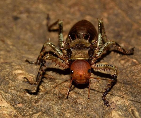 Cosmoderus fomeralis Cosmoderus Fomeralis Petbug Armouredcricket Cricket Insect Photography Invert Invertebrate Tettigonidae