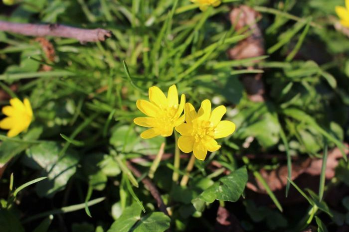 Yellow Flower Nature Beauty In Nature Plant Flower Head Fragility Green Color Outdoors Freshness No People Yellow Color Day Close-up Petal Nature Nature Photography Naturelovers Flowers Fleurs Jaune🌻 Green EyEmNewHere Paint The Town Yellow
