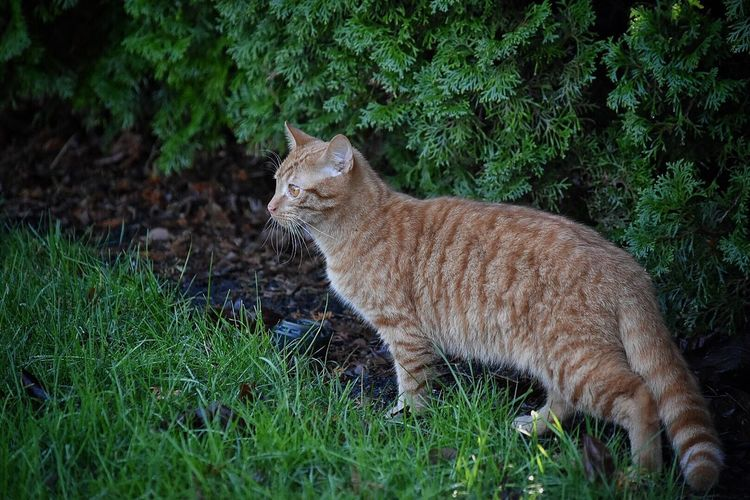 One Animal Mammal Animal Themes Domestic Cat Feline Field Outdoors Nature Grass Day No People Animals In The Wild Plant Animal Wildlife Domestic Animals Frontyard Outdoor Photography Feline Portraits Animal Watching Cats Cats Of EyeEm Cat Pets Pet Photography