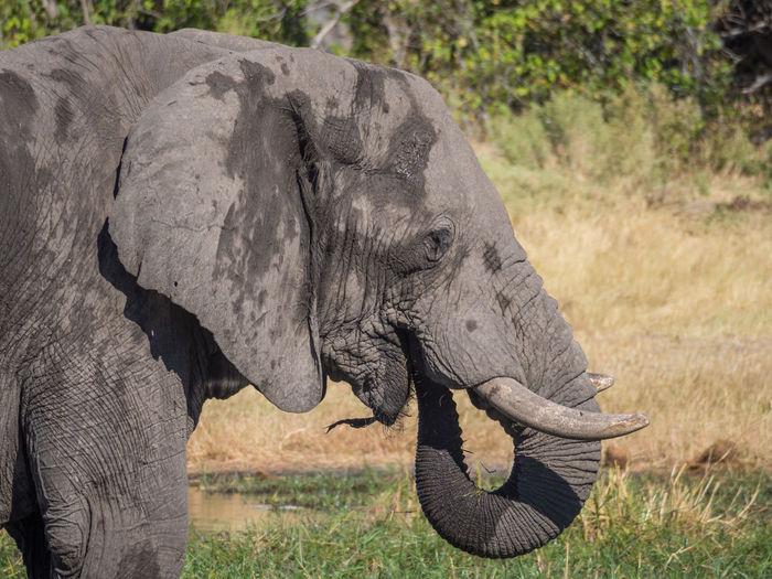Close-up portrait of drinking elephant, moremi game reserve, botswana