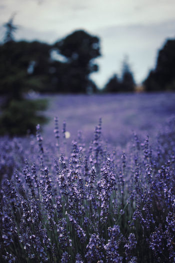 Beauty In Nature Close-up Day Environment Field Flower Flowering Plant Fragility Freshness Growth Land Lavender Nature No People Outdoors Plant Purple Selective Focus Sky Vulnerability