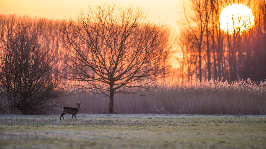 On an early morning in 'Groot Eiland' wild park, a roebuck greets the rising sun. 16x9 Atmosphere Bambi Bare Tree Cold Cold Temperature Deer The Great Outdoors With Adobe The Great Outdoors - 2016 EyeEm Awards Landscape Morning Nature Here Belongs To Me Outdoors Roebuck Roedeer Rural Scene Sunrise Tranquil Scene Tranquility Weather Wildlife Www.benjaminvanderspek.com Zeeland  Landscapes With WhiteWall