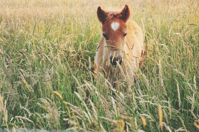 EyeEm Selects Grass Nature One Animal Animal Themes Mammal Growth Outdoors New Born Animal Animals In The Wild Animal Wildlife Nature Horse Baby Horse Foal Filly Icelandic Horse Cute Sweet Pet Portraits