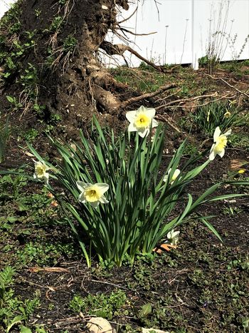 Growth Daffodils Day Garden No People Oudoors Spring Flowers Sunny Day Tree Roots
