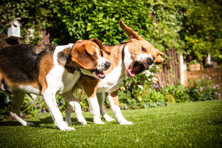 Two beagules playing on grass