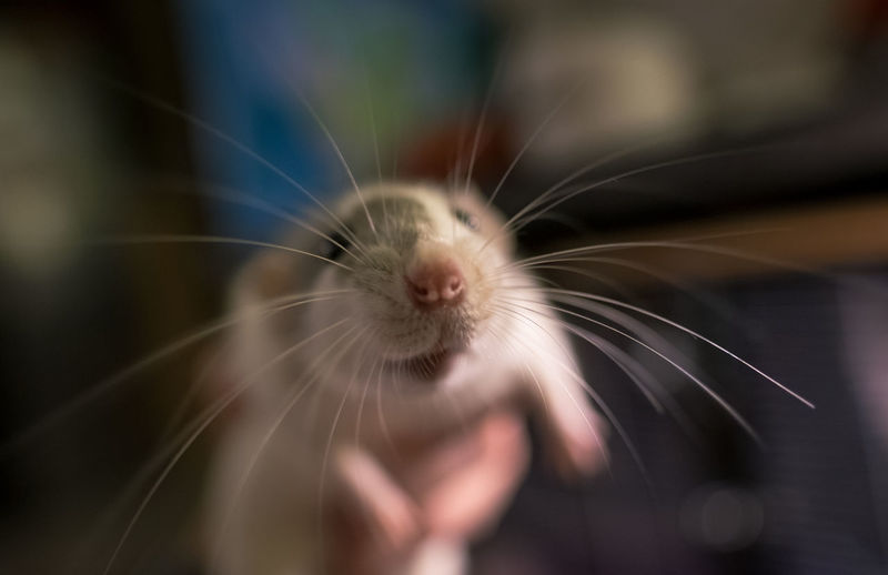 Thoria, almost in focus! Rat Shallow Depth Of Field Animal Animal Body Part Animal Head  Animal Themes Animal Wildlife Close-up Day Domestic Domestic Animals Focus On Foreground Mammal No People One Animal Pet Pets Rodent Shallow DOF Whisker