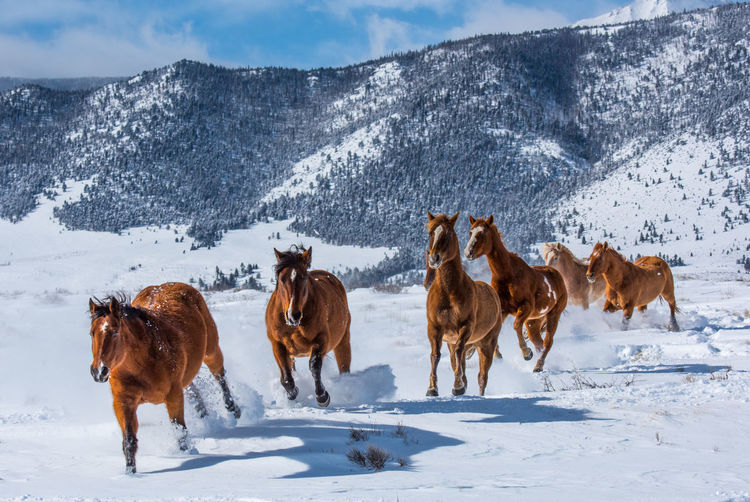 Feb 2019 - Music Meadows Ranch Winter Herd Of Horses Galloping Horses Snow Cold Temperature Domestic Domestic Animals Horse Mountain Snowcapped Mountain Outdoors No People Running Animal Themes Field Day Land Group Of Animals Herbivorous Livestock Vertebrate Mammal Pets Animal Animal Wildlife