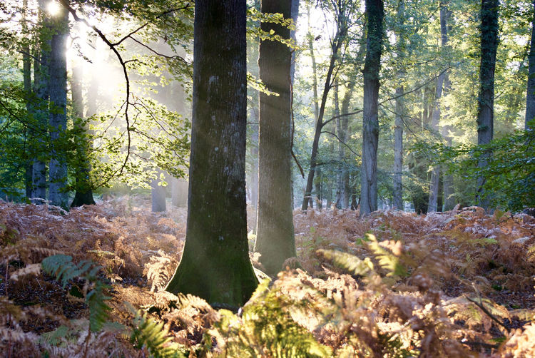 Woodland with dappled sunlight Beauty In Nature Dappled Sunlight Day Deciduous Woodland Ferns Forest Growth Landscape Nature New Forest No People Outdoors Scenics Tranquility Tree Tree Trunk WoodLand