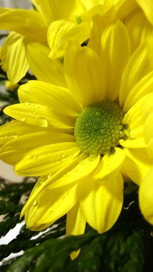 Alegria♥♥♥ Flor Flores Amarillas  Yellow Flower Gotasdelluvia Día De Lluvia Vintage