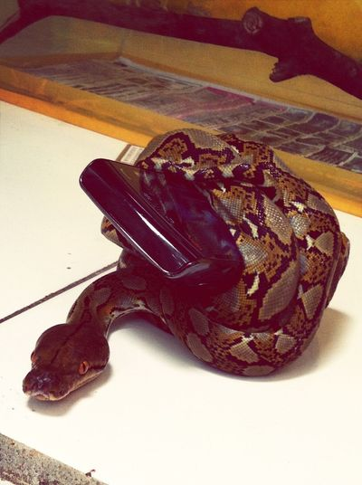 The snake hate my blackberry