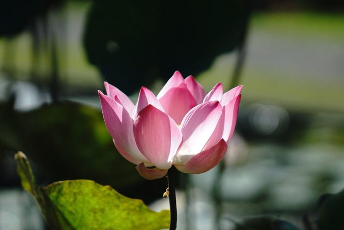 Red water lily Pink Color Close-up Plant Focus On Foreground Flower Flowering Plant Freshness Growth Petal Fragility Inflorescence Flower Head Day Plant Part Nature Beauty In Nature Vulnerability  Leaf No People Outdoors