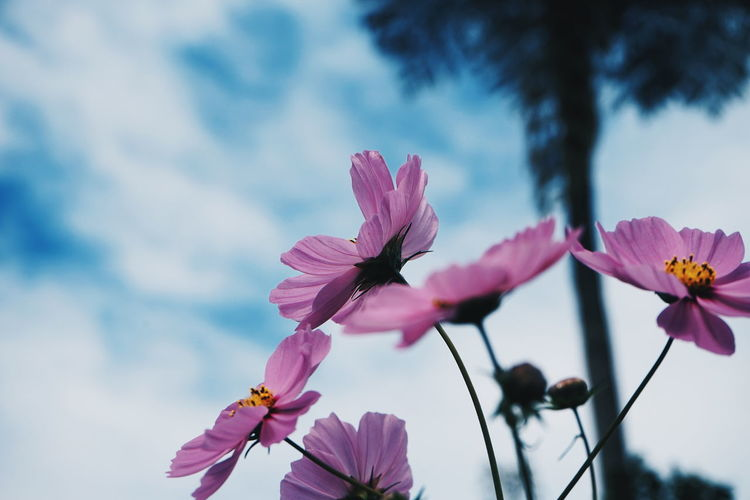 Close-up of pink cosmo plant against sky