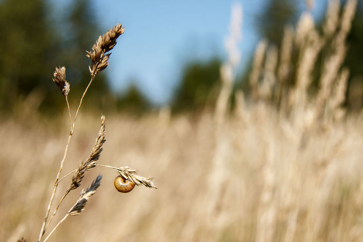 Close-up of wheat plant on field