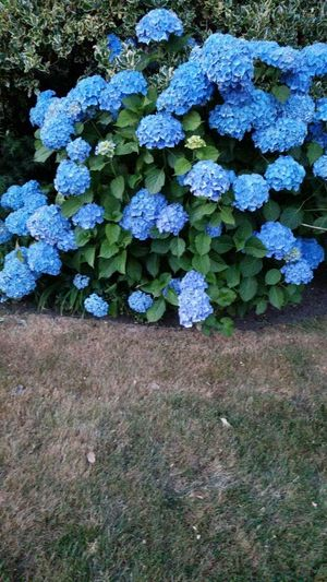 Beauty Blue... Nature Flower Growth Outdoors Day Plant High Angle View No People Green Color Beauty In Nature Hydrangea Fragility Freshness Close-up Flower Head Northvancouverbc Canada 🇨🇦 Blue Flowers Beauty In Nature
