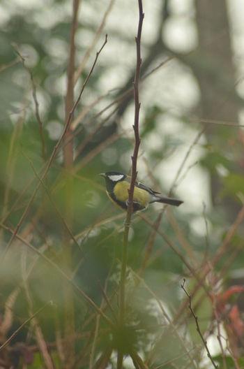 Beauty In Nature Bird Parus Major Mésange Charbonnière Day Outdoor