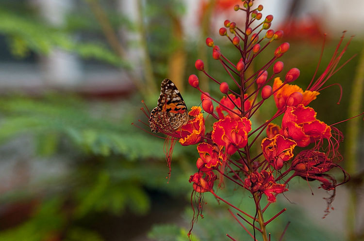 Butterfly on red flower Animal Themes Animal Wildlife Animals In The Wild Beauty In Nature Butterfly - Insect Close-up Day Flower Flower Head Fragility Growth Insect Monarch Butterfly Nature Outdoors Plant Red Summer Exploratorium