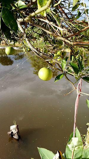 Fruit Delucious Creation Of God ! Orange Lime !!!!