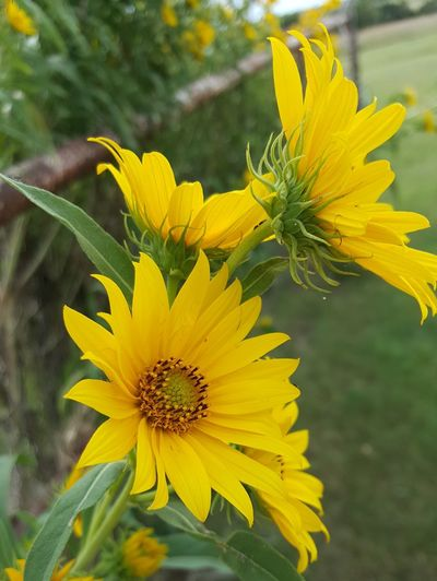 yellow Nature Blossom Beauty In Nature Flower Fragility Uncultivated Summer Freshness Paint The Town Yellow
