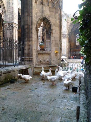 Animal Themes Barcelona Barcelona, Spain Bird Captivity Catalunya Cataluña Catedral Cathedral Cautiverio Church Claustre Claustro Duck Espana-Spain España🇪🇸 Goose Medium Group Of Animals Oca Paris