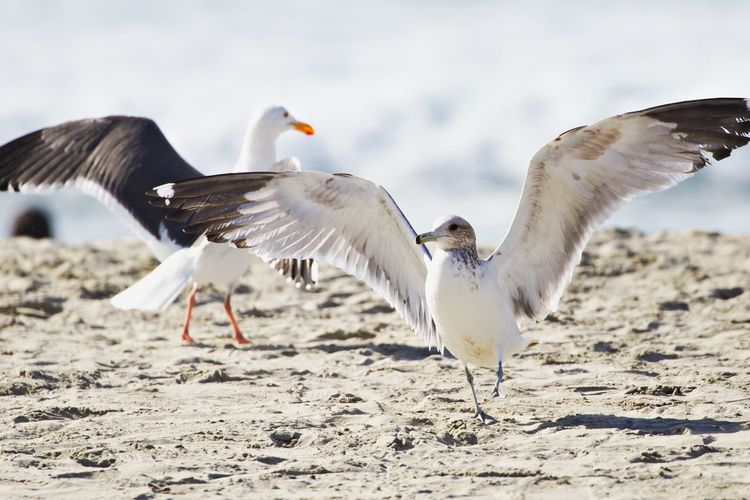 Animal Themes Animal Bird Animals In The Wild Group Of Animals Spread Wings Animal Wildlife Nature Two Animals Beach Land Sand Seagull Flapping Outdoors Seagulls
