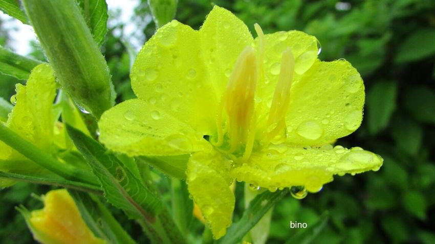 Early Morning Dew Fragility Close-up Flower Head Yellow Color Droplets On Flower Lake Cadillac Pure Michigan