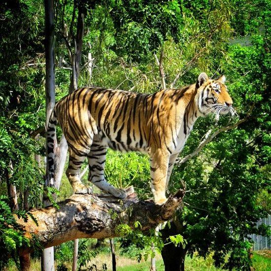Maître tigrou sur un arbre perché... la vue est meilleure d'ici ☺ / tigger on a tree seeking for a better view. Mycapture Igersmauritius Ig_nizza Instagramersgallery