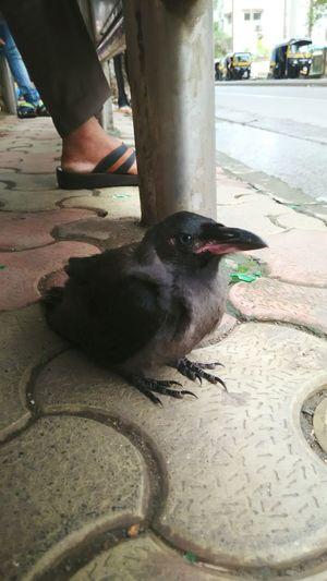 Baby Crow Crow Birds Hello World Homeiswheretheartis