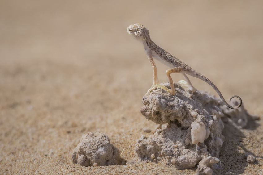 EyeEmNewHere Animal Wildlife Animal Animals In The Wild Nature One Animal Desert No People Day Outdoors Arid Climate Animal Themes Desert Animals In The Wild Lizardsofinstagram Lizard Photography Lizard Tail Breathing Space