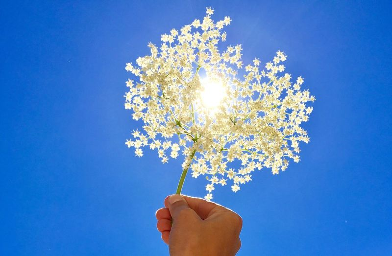 Low angle view of hand holding flowers against clear blue sky