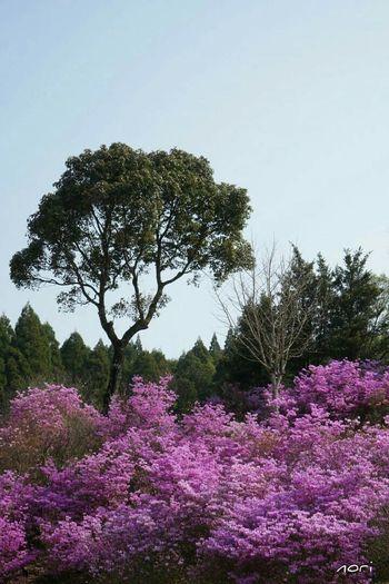 Azalea Pink Flower Purple Flower EyeEm Nature Lover EyeEm Flower Flower Collection Landscape Kagoshima *CHIE*