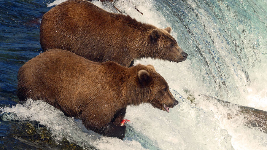 High angle view of grizzly bears in river