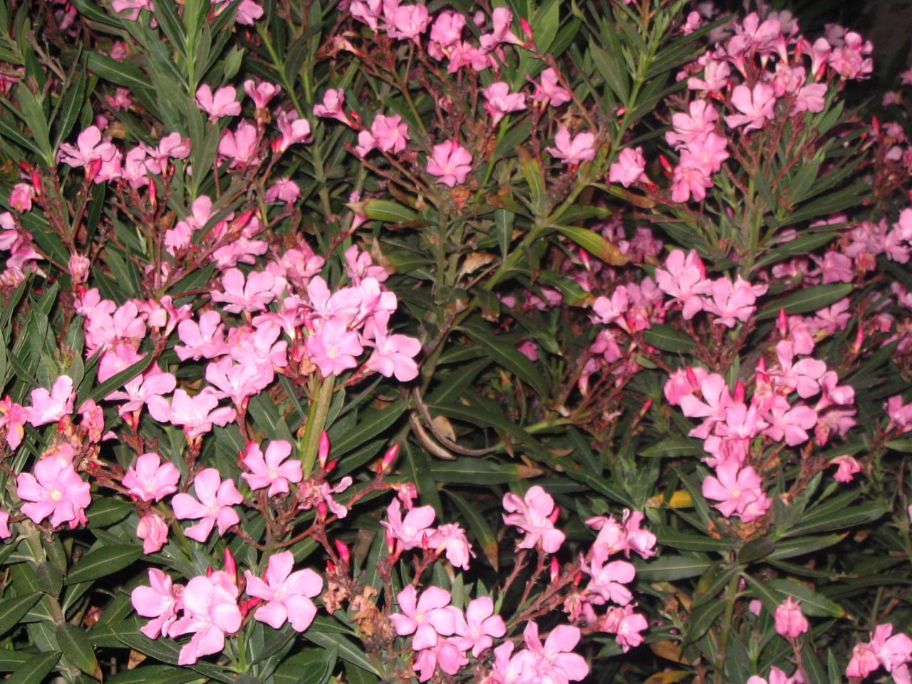 flower, pink color, growth, spring, foliage, outdoors, nature, no people, day, freshness