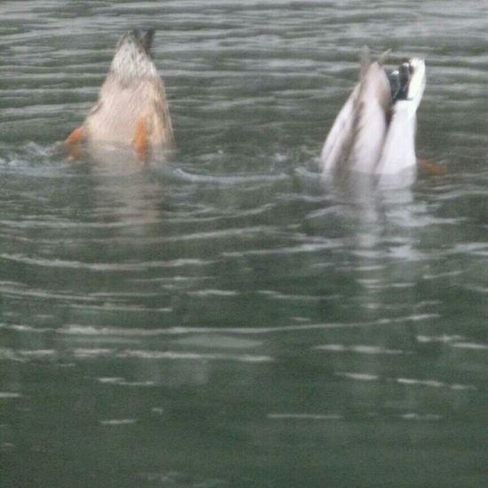Looking for Food poor things Ducks Dive In