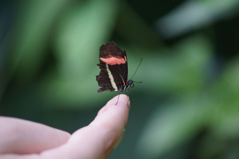 Animal Wing Butterfly Focus On Foreground Holding Human Finger Nature Outdoors Person